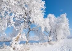 榆树冬天玉树琼花