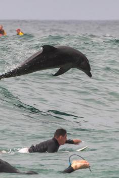 """画风有趣!澳大利亚海豚加入冲浪者""""乘风破浪"""""""